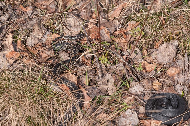 Vipera berus, Common adder