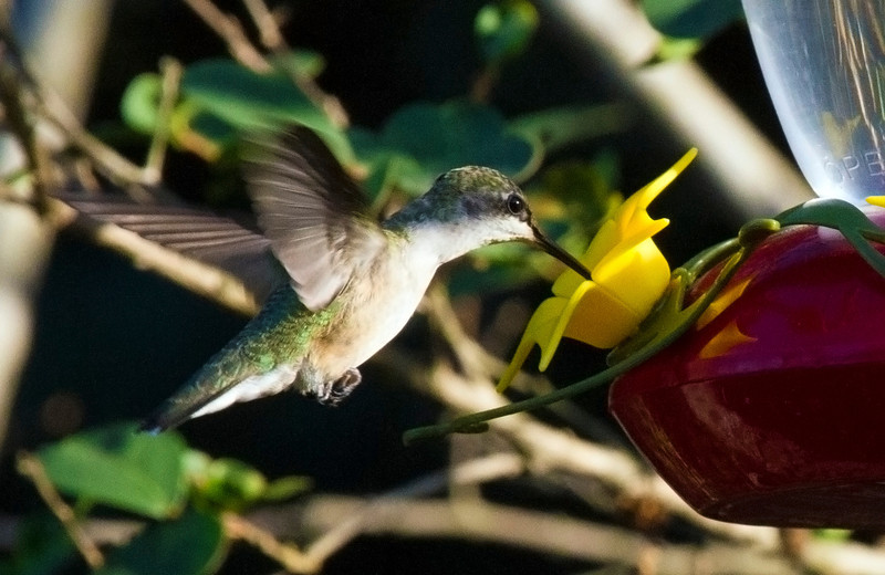 hummingbirdatfeeder3.jpg