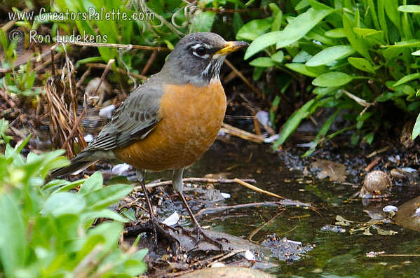 Robins-in our backyard