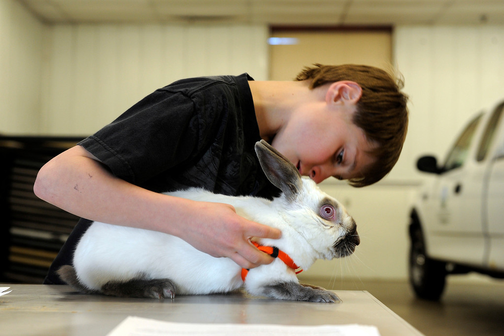 . BRIGHTON, CO - MARCH 25: Dylan Christensen, 11, puts a harness onto his rabbit Zeus at the Adams County Fairgrounds Event Center on March 25, 2014, in Brighton, Colorado. Christensen is part of the Adams County Rabbit Hopping group, which is made up of eleven youngsters who participate in 4-H projects through Adams County. They are training for the Adams County Fair which will take place at the end of July. (Photo by Anya Semenoff/The Denver Post)