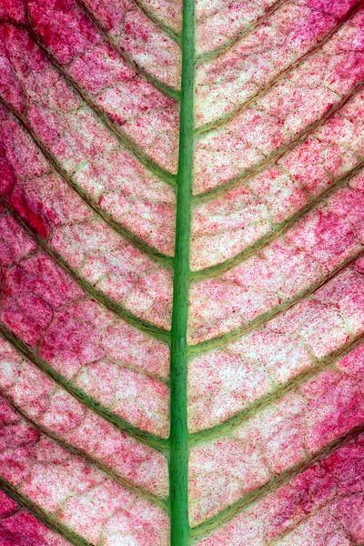 poinsettia-leaf-03c.jpg