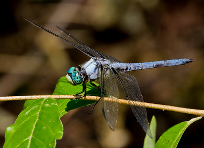 Great Blue Skimmer