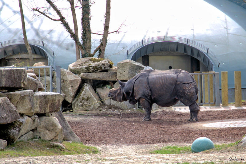 Munich Tierpark, 04/04/20199   Rhino This work is licensed under a Creative Commons Attribution- NonCommercial 4.0 International License