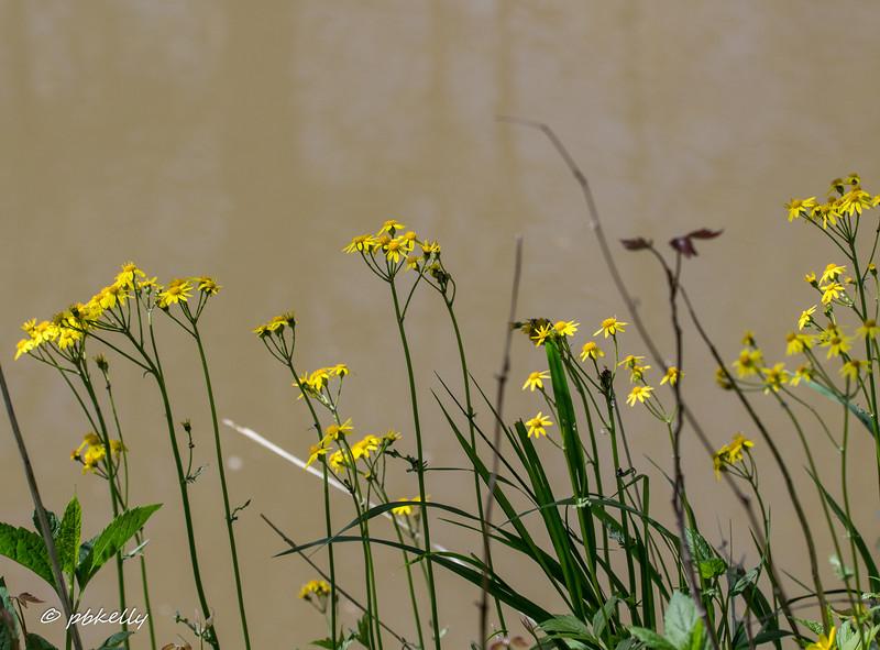 04-26-17.  Golden Ragwort, Senecio aureus, was a plentiful floodplain flower .