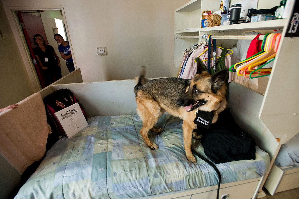 . Bruno, a drug and firearm dog, sniffs through residents belongings at Whittier Area First Day Coalition on Wednesday, June 26, 2013. Bruno and his handler, Cher Abellano, will visit the facility randomly throughout the year to conduct safety checks. (SGVN/Staff photo by Watchara Phomicinda)