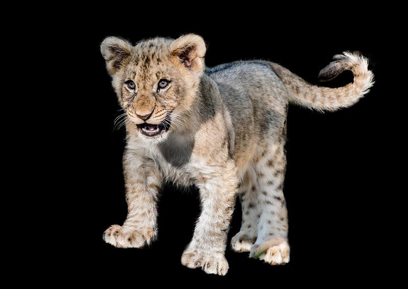 Cute lion cub hissing