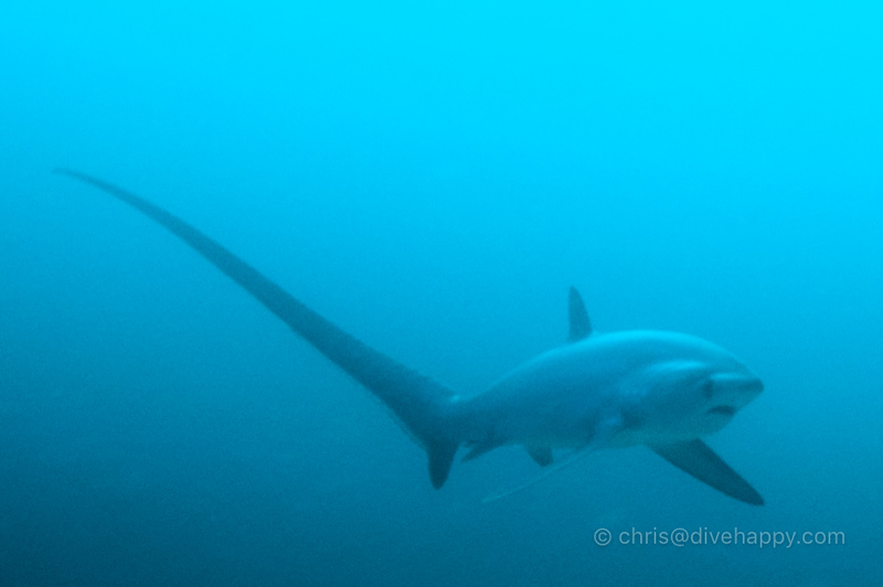 thresher-shark-overhead-malapascua.jpg