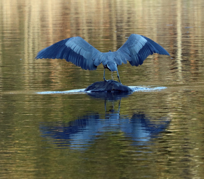 Great blue heron (very blue in late afternoon light) 3