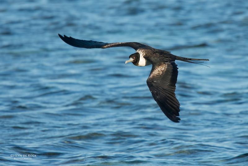 Lesser Friagtebird, Lady Elliot Island, QLD, Dec 2015-2.jpg
