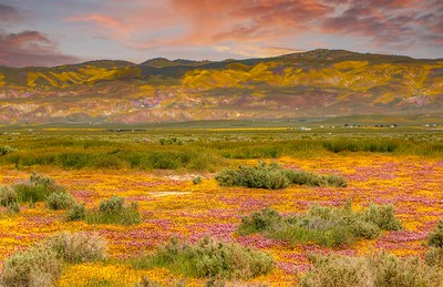 Central California Wildflowers in Carizzo Plains, Hwy 58, Soda Lake and Antelope Valley Poppy Preserve areas