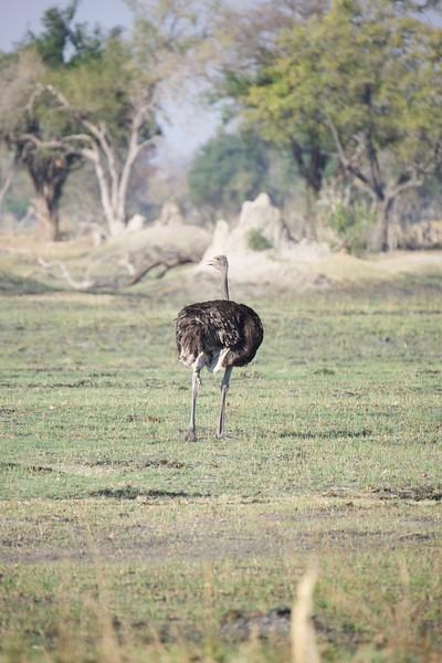 Ostrich, Shinde camp, Botswana