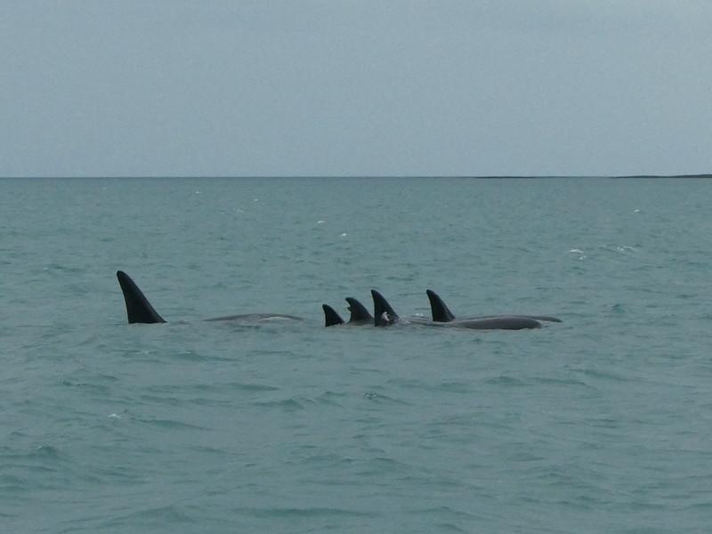 Orca whales near  Keflavik