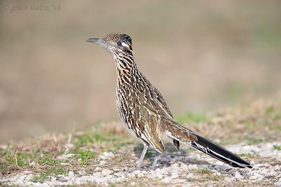 Cuckoos (Includes Roadrunners)
