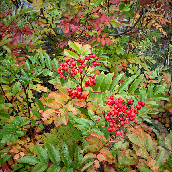 Idaho Red Berries