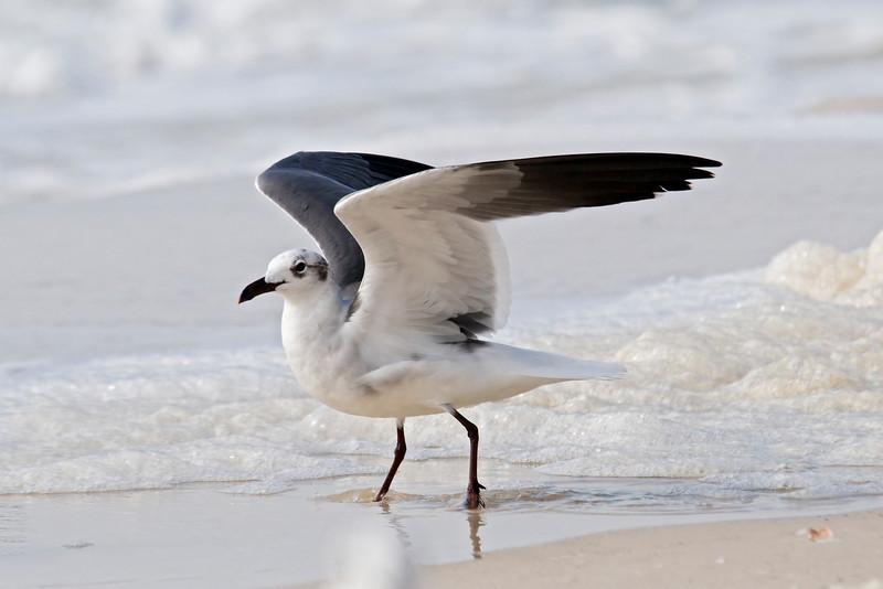 Gull - Laughing - Mexico Beach, FL