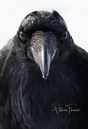 Ravens of the Pacific Northwest