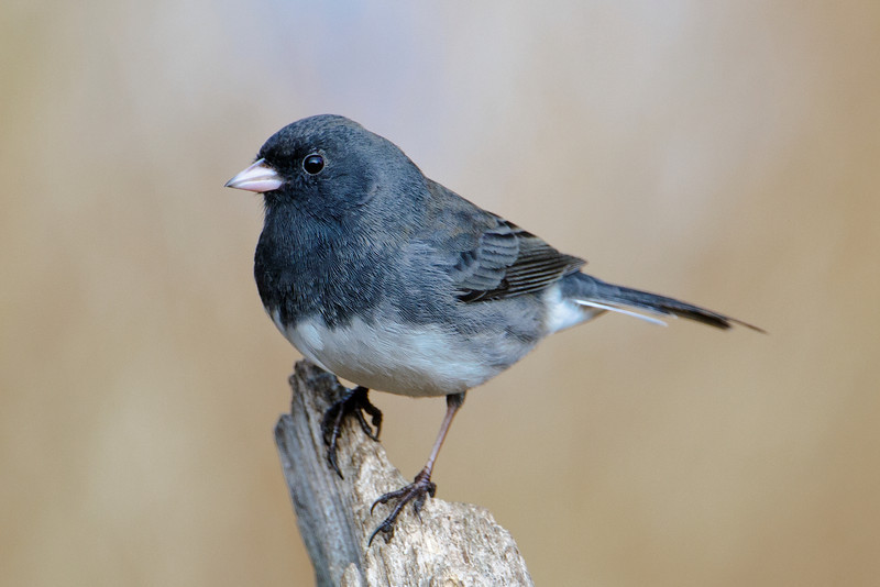 Junco - Dark-eyed - Dunning Lake, MN - 19