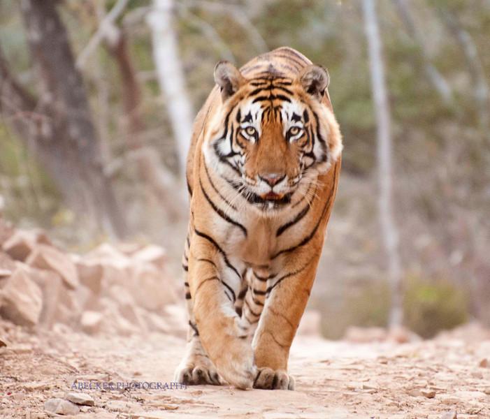 Tiger stares.jpg
