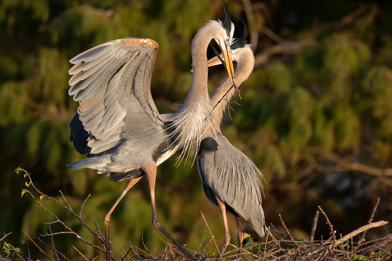 Great Blue Herons Nesting Ritual FL 2020-4.jpg