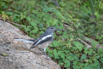 Magpie-robin, Oriental