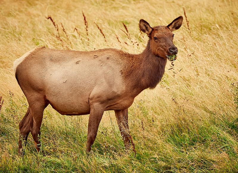 Female Elk grazing