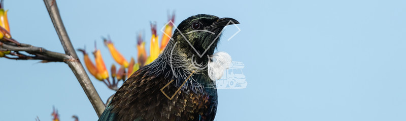Panorama portrait of colorful Tui bird in the sun