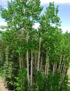 Aspen Grove on Mt. Agassiz, Flagstaff, AZ.