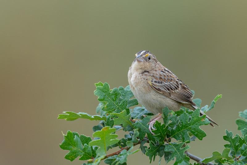 Grasshopper Sparrow - San Jose, CA, USA