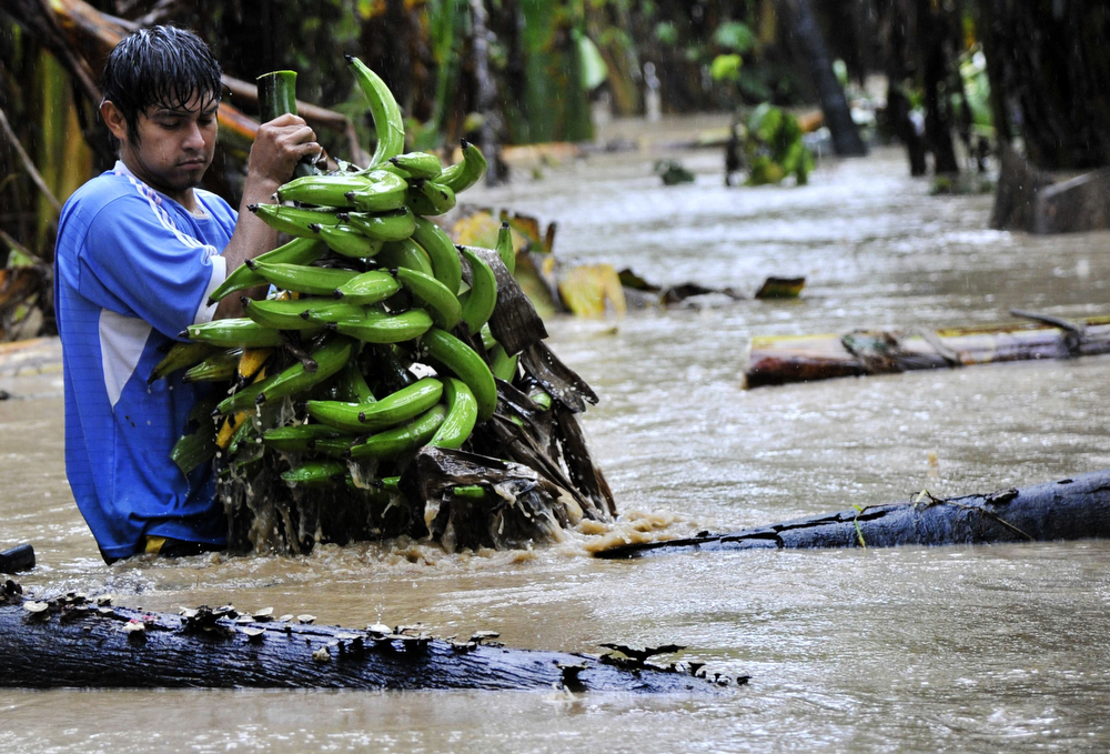 Description of . A native collects bananas from a flooded plantation in Puerto Yumani, 15 km from Rurrenabaque, northeast Bolivia, February 4, 2014. (AIZAR RALDES/AFP/Getty Images)