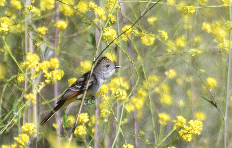 Ash-throated Flycatcher - 5/5/2019 - Trail on the way to Poway Pond (bottom of east hill)