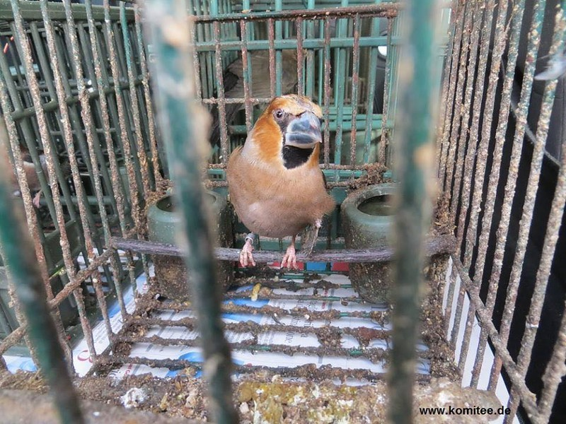 Hawfinch - one of many birds which were being used as illegal decoys