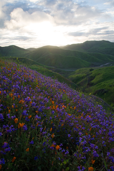 Wildflower cover the typically dry coastal hills of southern California during a superbloom.