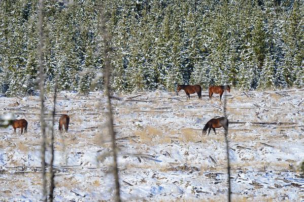 5 2013 May 1 Alberta Wild Horses Several Bands