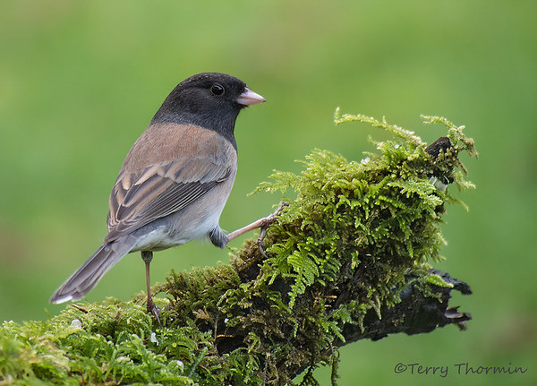 Towhees, Sparrows etc,