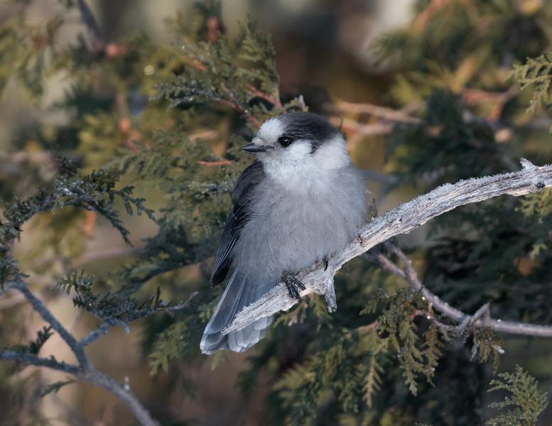 Canada Gray Jay