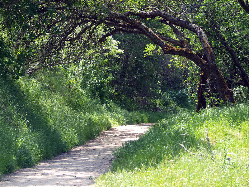 Trail with tree overhang, Briones