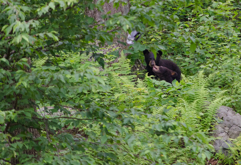 Black Bear in Yard-16-4.jpg