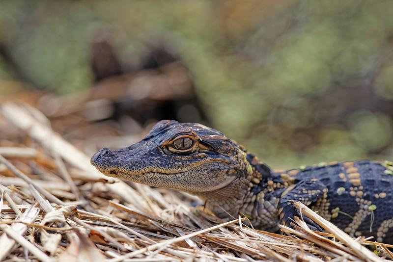 Juvenile alligator suns on the bank of Headquarters Pond