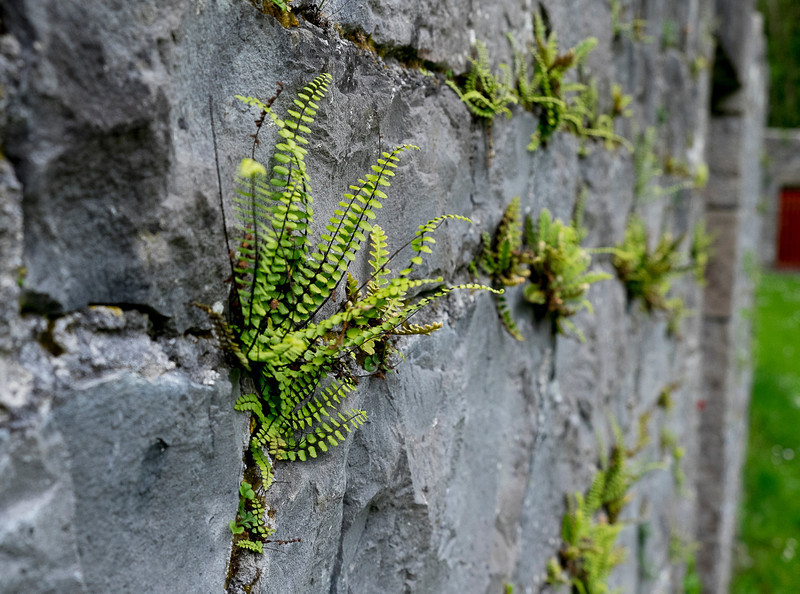 Ferns on a wall in Coole Park and Garden.