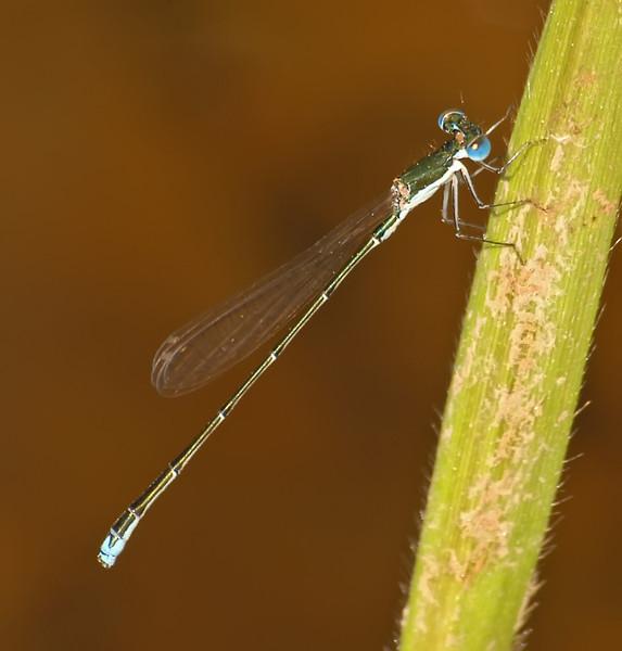 Nehallenia integricollis (Southern Sprite), GA