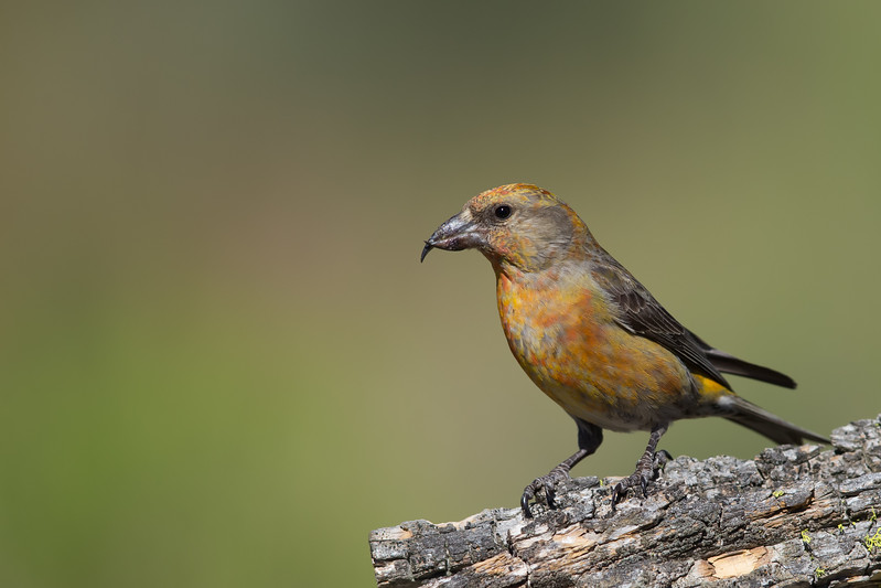 Red Crossbill - Male - OR, USA