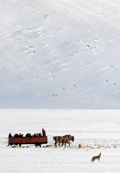 . Visitors to the National Elk Reserve outside the Grand Tetons and the town of Jackson take a sleigh ride through the area as a coyote howls. PHOTO: Will Lester