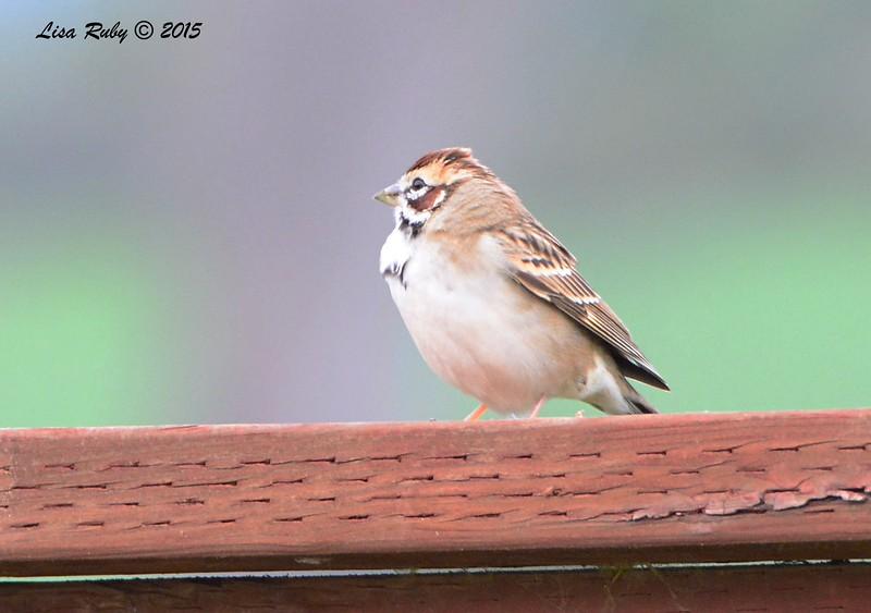 Lark Sparrow - 2/19/15 - Sycamore Canyon Rd, Poway