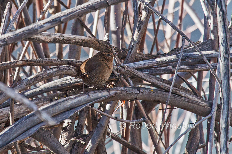 Pacific Wren, Troglodytes pacificus, La Plata County, Colorado