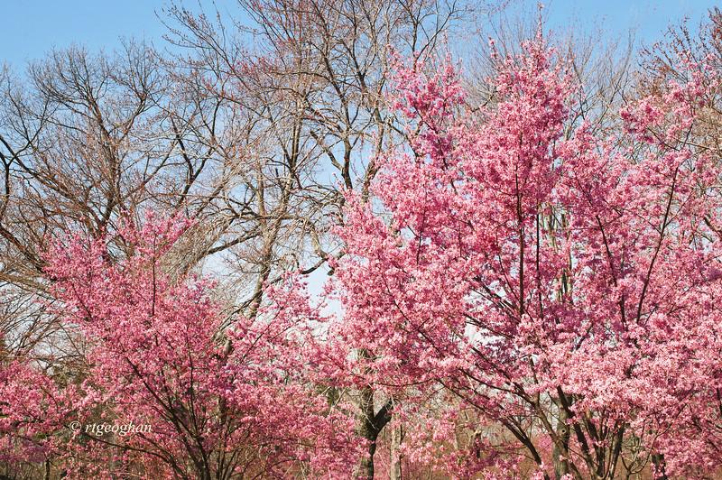 April 10_BranchBrookCherryBlossoms_7526 (2).jpg