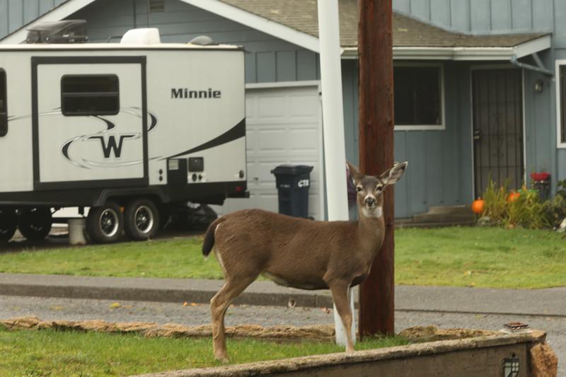 Brookings deer