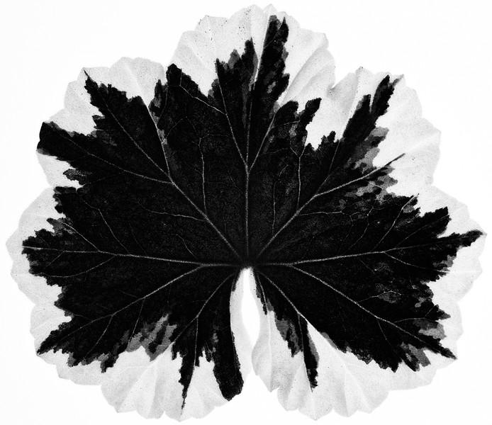 geranium-leaf.jpg