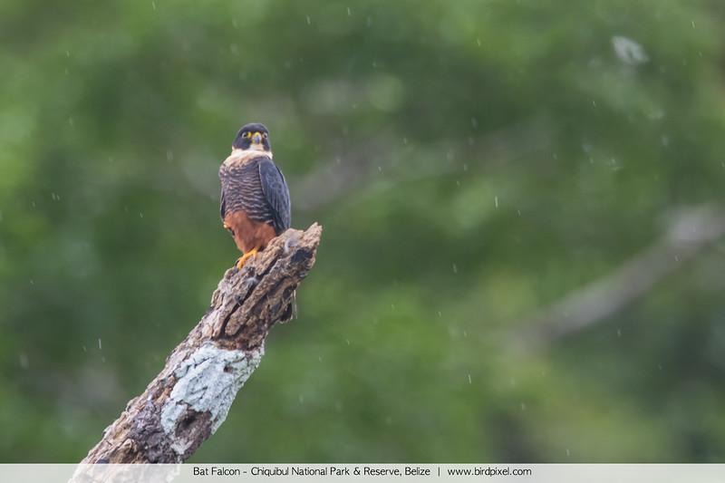 Bat Falcon - Chiquibul National Park & Reserve, Belize