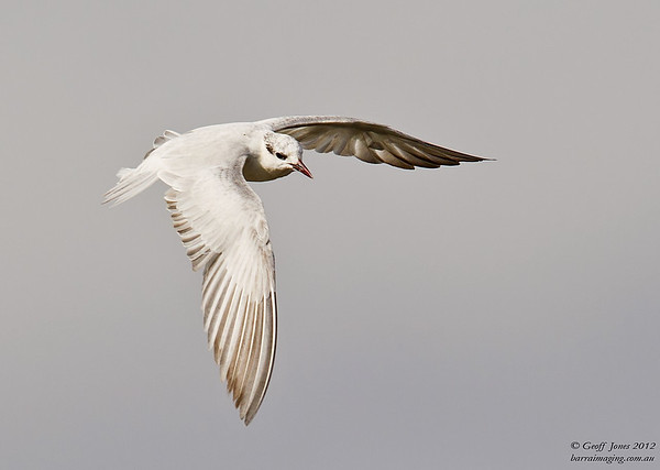 Gulls, Terns Family Laridae