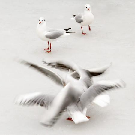Måger på is December 2012